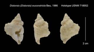 To NMNH Extant Collection (Distorsio (Distorsio) euconstricta Holotype USNM 718952)