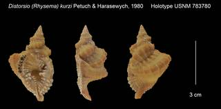 To NMNH Extant Collection (Distorsio (Rhysema) kurzi Holotype USNM 783780)