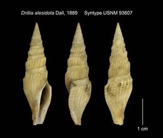To NMNH Extant Collection (Drillia alesidota Syntype USNM 93607)