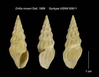 To NMNH Extant Collection (Drillia moseri Syntype USNM 93611)