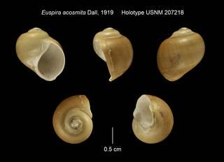 To NMNH Extant Collection (Euspira acosmita Holotype USNM 207218)