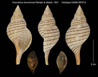 To NMNH Extant Collection (Fasciolaria branhamae Holotype USNM 597513)