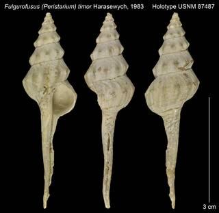 To NMNH Extant Collection (Fulgurofusus (Peristarium) timor Holotype USNM 87487)