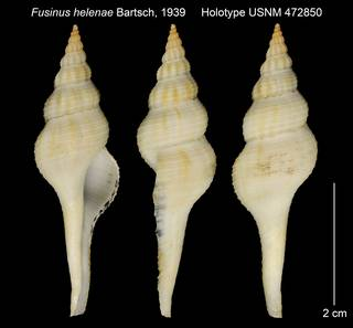 To NMNH Extant Collection (Fusinus helenae Holotype USNM 472850)
