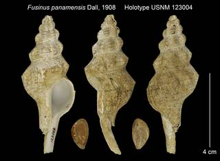 To NMNH Extant Collection (Fusinus panamensis Holotype USNM 123004)