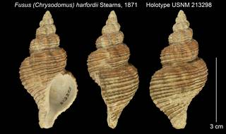 To NMNH Extant Collection (Fusus (Chrysodomus) harfordii Holotype USNM 213298)