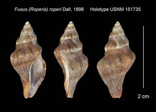 To NMNH Extant Collection (Fusus (Roperia) roperi Holotype USNM 151735)