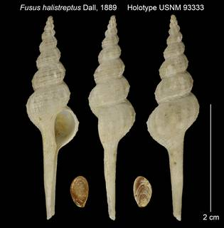 To NMNH Extant Collection (Fusus halistreptus Holotype USNM 93333)