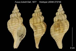 To NMNH Extant Collection (Fusus kobelti Holotype USNM 273746)