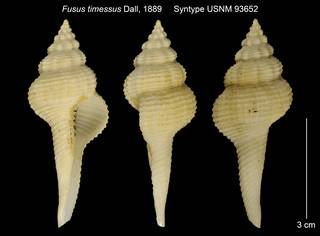 To NMNH Extant Collection (Fusus timessus Syntype USNM 93652)