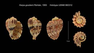 To NMNH Extant Collection (Harpa goodwini Holotype USNM 860312)