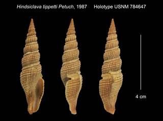 To NMNH Extant Collection (Hindsiclava tippetti Holotype USNM 784647)