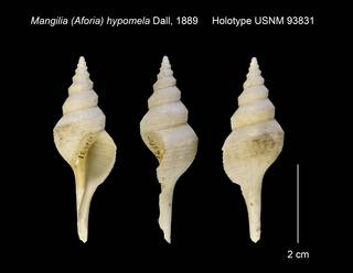 To NMNH Extant Collection (Mangilia (Aforia) hypomela Holotype USNM 93831)