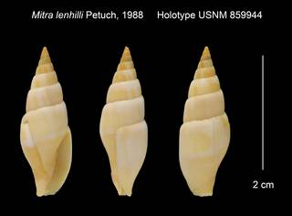 To NMNH Extant Collection (Mitra lenhilli Holotype USNM 859944)