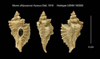 To NMNH Extant Collection (Murex (Alipurpura) rhyssus Holotype USNM 160500)
