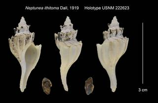 To NMNH Extant Collection (Neptunea ithitoma Holotype USNM 222623)