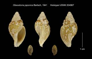 To NMNH Extant Collection (Obesotoma japonica Holotype USNM 204967)