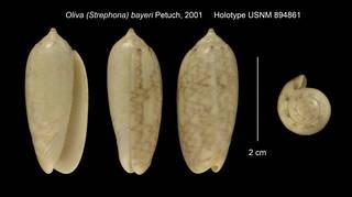 To NMNH Extant Collection (Oliva (Strephona) bayeri Holotype USNM 894861)