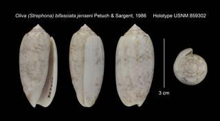 To NMNH Extant Collection (Oliva (Strephona) bifasciata jenseni Holotype USNM 859302)