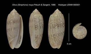 To NMNH Extant Collection (Oliva (Strephona) maya Holotype USNM 859301)