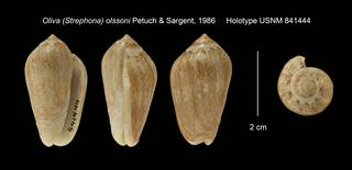To NMNH Extant Collection (Oliva (Strephona) olssoni Holotype USNM 841444)