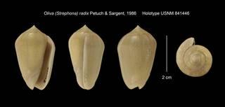 To NMNH Extant Collection (Oliva (Strephona) radix Holotype USNM 841446)