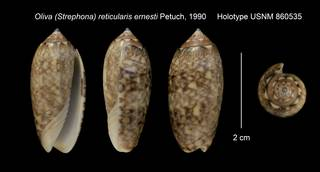 To NMNH Extant Collection (Oliva (Strephona) reticularis ernesti Holotype USNM 860535)
