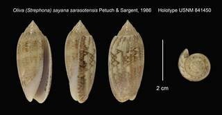 To NMNH Extant Collection (Oliva (Strephona) sayana sarasotensis Holotype USNM 841450)