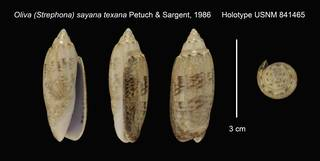 To NMNH Extant Collection (Oliva (Strephona) sayana texana Holotype USNM 841465)