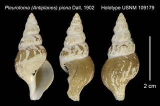 To NMNH Extant Collection (Pleurotoma (Antiplanes) piona Holotype USNM 109179)