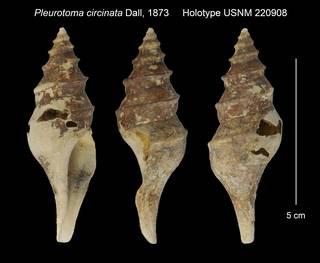 To NMNH Extant Collection (Pleurotoma circinata Holotype USNM 220908)