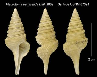 To NMNH Extant Collection (Pleurotoma periscelida Syntype USNM 87391)
