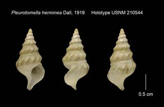 To NMNH Extant Collection (Pleurotomella herminea Holotype USNM 210544)