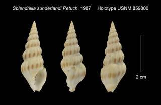 To NMNH Extant Collection (Splendrillia sunderlandi Holotype USNM 859800)
