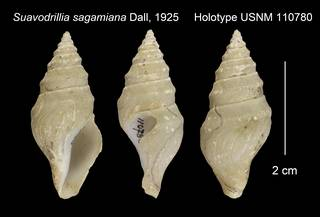 To NMNH Extant Collection (Suavodrillia sagamiana Holotype USNM 110780)