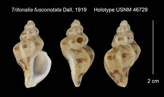 To NMNH Extant Collection (Tritonalia fusconotata Holotype USNM 46729)
