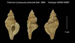 To NMNH Extant Collection (Tritonium (Lampusia) pharcida Holotype USNM 94887)