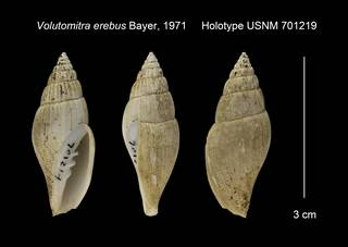 To NMNH Extant Collection (Volutomitra erebus Holotype USNM 701219)