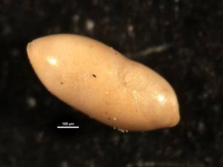 To NMNH Paleobiology Collection (Ellipsopleurostomella stewarti CC36051)