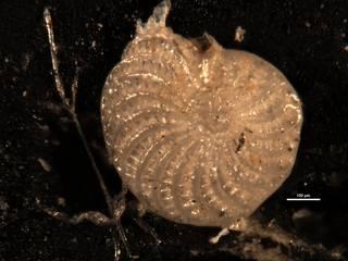 To NMNH Paleobiology Collection (Elphidium novo-zealandium CC 23046)