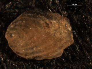 To NMNH Paleobiology Collection (Frondicularia subhunteri 4904)