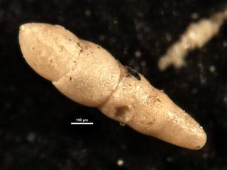 To NMNH Paleobiology Collection (Nodosarella hedbergi CC46738)