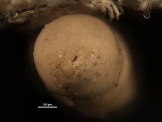 To NMNH Paleobiology Collection (Nodosarella reflecta CC43791 ap)