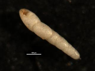 To NMNH Paleobiology Collection (Nodosarella subcylindrica CC39634)
