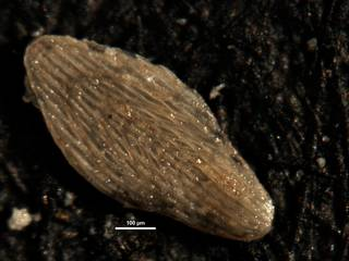 To NMNH Paleobiology Collection (Plectofrondicularia longistriata cc38153)