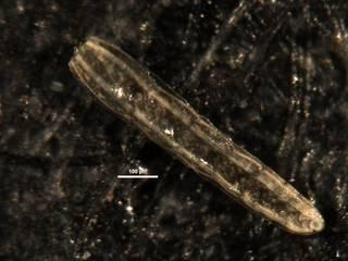 To NMNH Paleobiology Collection (Plectofrondicularia mexicana plummerae CC12205)