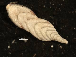 To NMNH Paleobiology Collection (Plectofrondicularia palmerae CC23316)