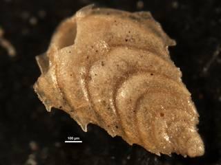 To NMNH Paleobiology Collection (Plectofrondicularia spinifera CC10086)