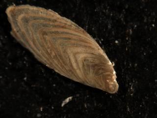 To NMNH Paleobiology Collection (Plectofrondicularia virginiana Cc45306)