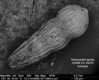 To NMNH Paleobiology Collection (Nodosarella ignota cc25470)